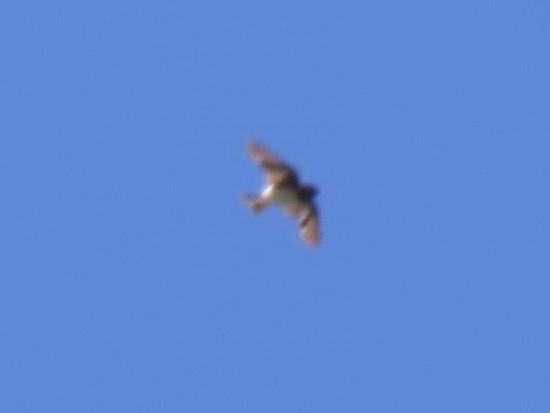 Golondrina rabadilla canela/Cliff Swallow