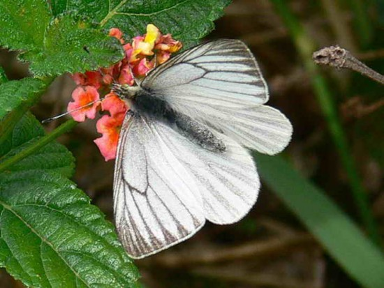 Lechera ribereña/False Common White
