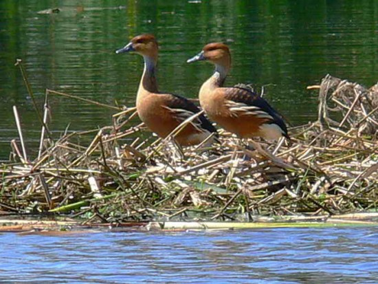 Sirirí colorado/Fulvous Whistling-Duck