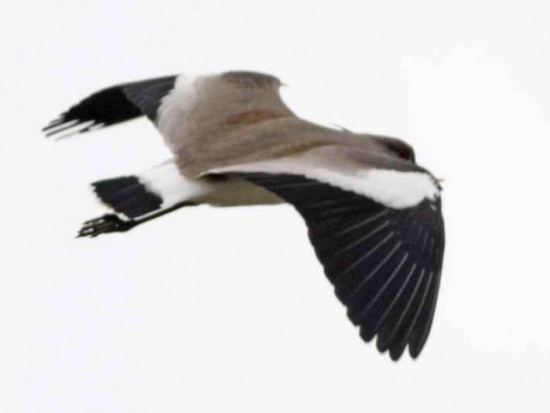 Tero común/Southern Lapwing