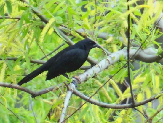 Tordo de matorral/Scrub Blackbird