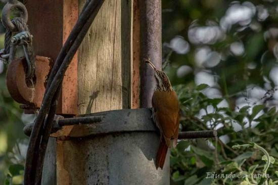 Chinchero chico/Narrow-billed Woodpecker