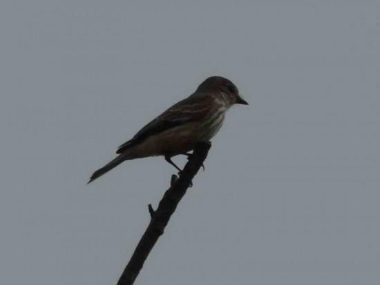 Churrinche H/Vermilion FlycatcherF