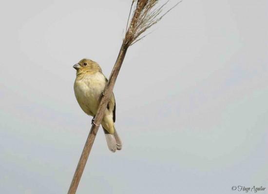 Corbatita común H/Double-collared Seedeater F