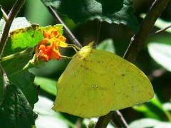 Azufrada coluda/Tailed Sulphur