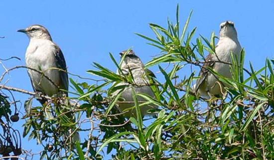 Calandria grande/Chalk-browed Mockingbird