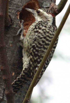 Carpintero bataraz chico M/Checkered Woodpecker M
