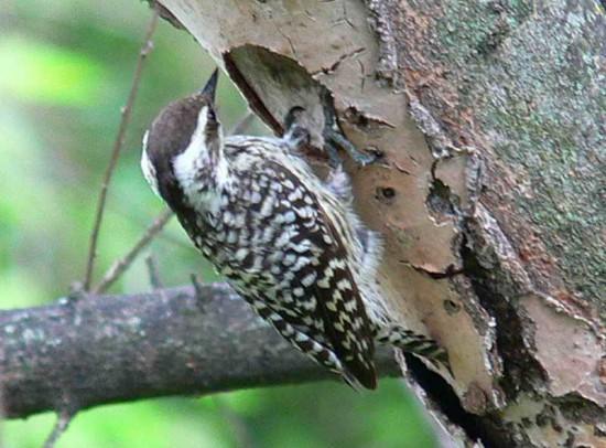Carpintero bataraz chico F/Checkered Woodpecker F