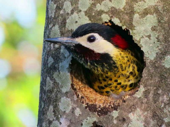 Carpintero real M/Green-barred WoodpeckerM