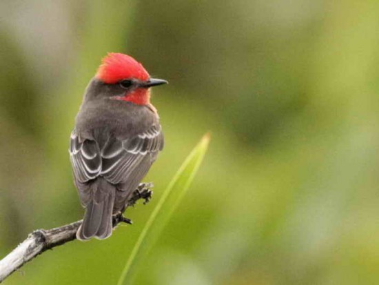 Churrinche M/Vermilion flycatcher M