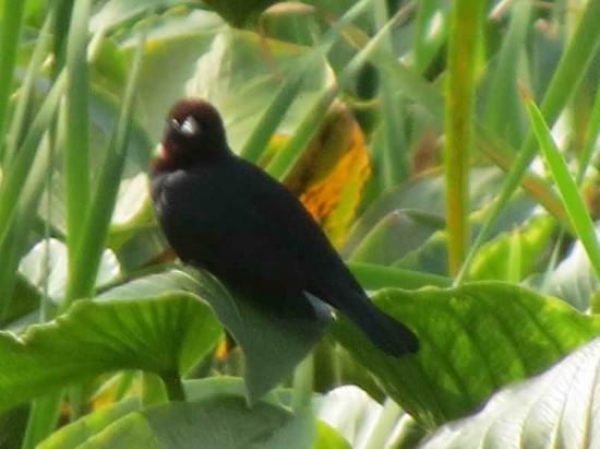 Varillero congo M/Chestnut-capped Balckbird M