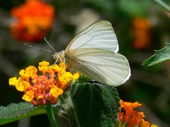 Lechera ribereña/False Common White