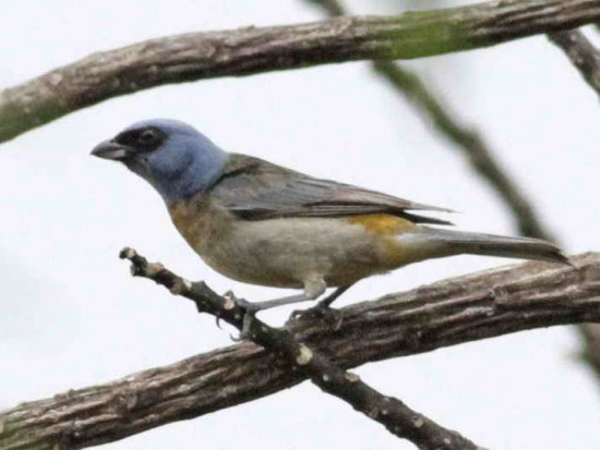 Naranjero JM/Blue-and-yellow Tanager JM