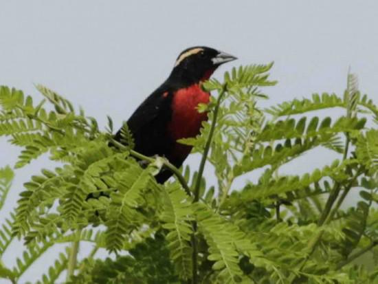 Pecho colorado/White-eyed Blackbird