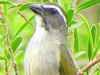 pepitero verdoso