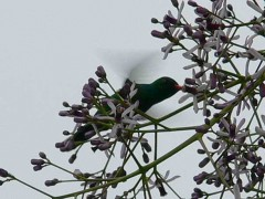 Picaflor común M/Glittering-bellied Emerald M