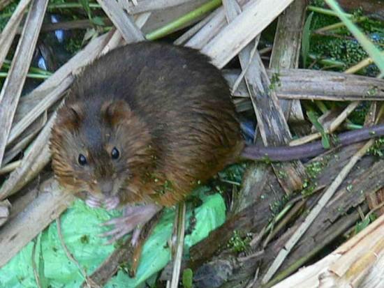 Rata de pantano/Holochilus sp.