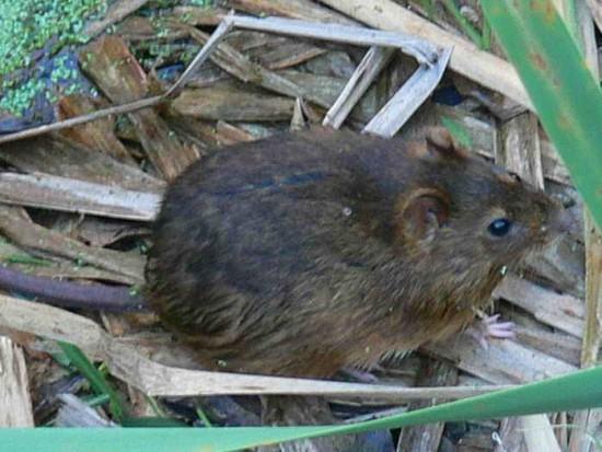 Rata de pantano/Marsh rat