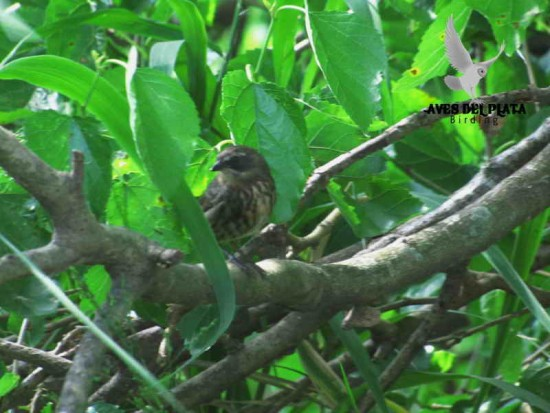 Sietevestidos J/Black-and-rufous Warbling-Finch J