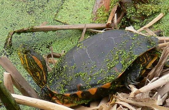 Tortuga pintada7Painted Turtle