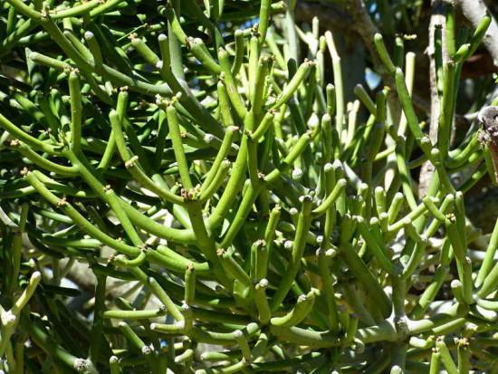 Árbol dedo/Pencil plant