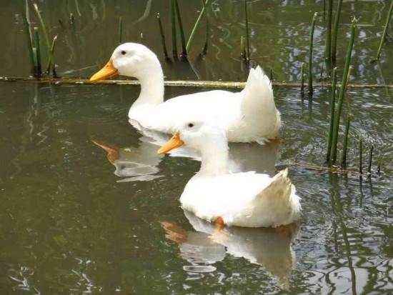 Pato Pekín/Pekin Duck