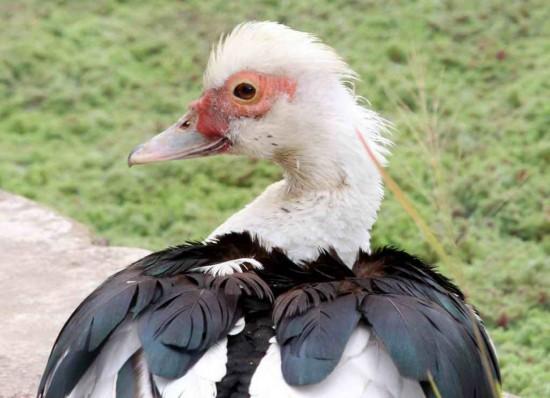 Pato criollo/Domestic Duck