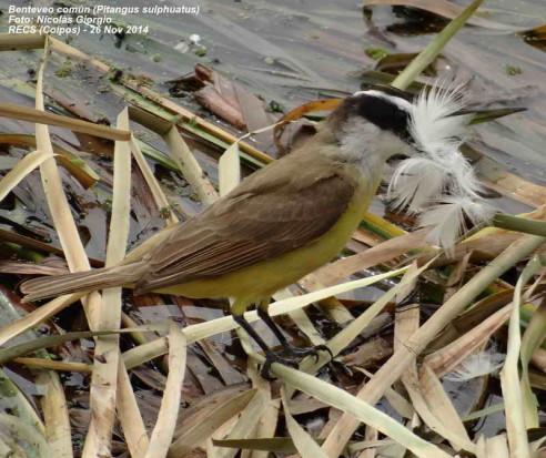Bnteveo común/Great Kiskadee
