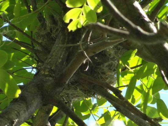 Cabecitanegra común/Hooded Siskin