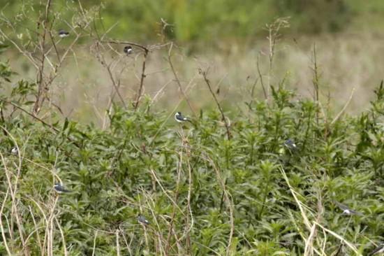Golondrina ceja blanca/White-rumped Swallow