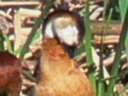 Hybrid duck/Pato híbrido