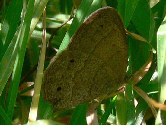 Marrón del pastizal/Celmis Satyr