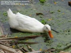 Pato Pekin/Pekin Duck