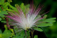 plumerillo rosado/Pink powderpuff