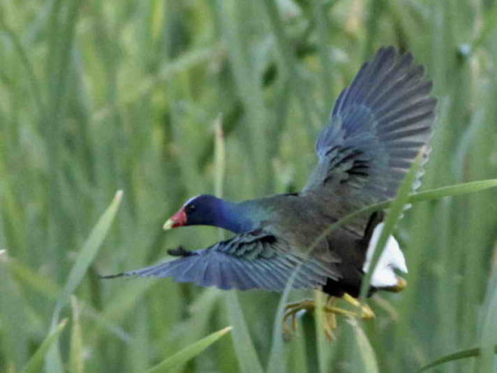 Pollona azul/Purple Gallinule