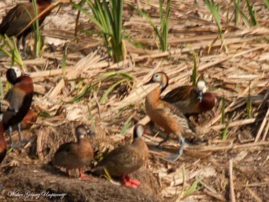 Sirirí atípico/Atypical Whistling-Duck