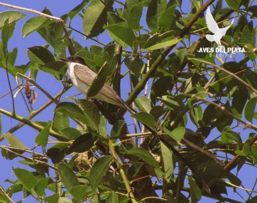 Tijereta/Fork-tailed Flycatcher