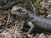 Lagarto trpador chaqueño/Etheridge's Lava Lizard