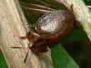Chelymorpha sp