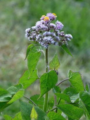Falsa chilca/Eupatorium hecatanthum
