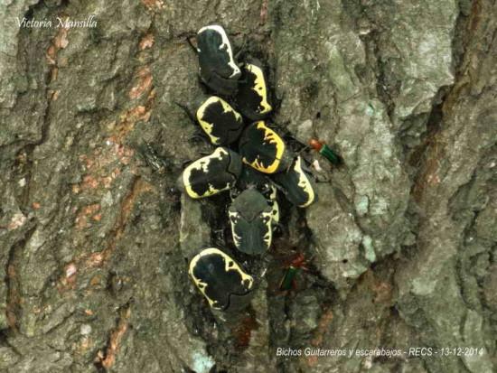Cetónido negro/Gymnetis pudibundaudibunda