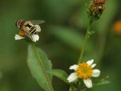 Palpada sp/Hoverfly