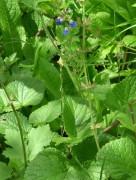 Salvia de sombra/Salvia procurrens