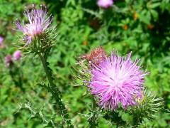 Cardo común/Plumeless thistle