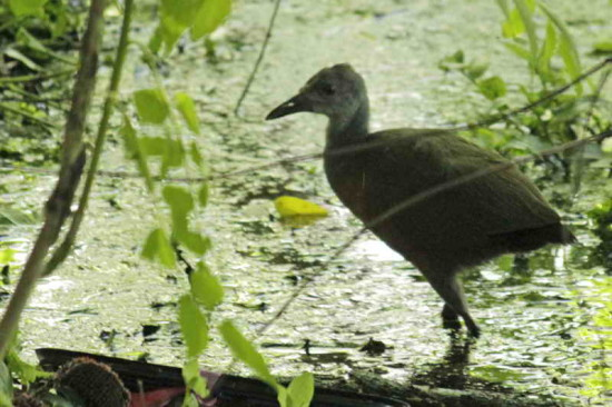 Chiricote J/Grey-necked Wood-Rail J