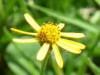 Nim nim/Creeping spotflower