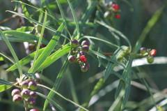 Curupí/Sapium haematospermum