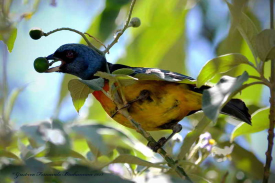 Naranjero M/Blue-and-yellow Tanager M
