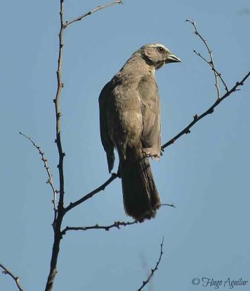 Pepitero gris/Greyish Saltator