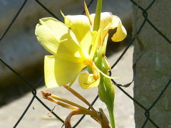 Achira amarilla/Indian shot
